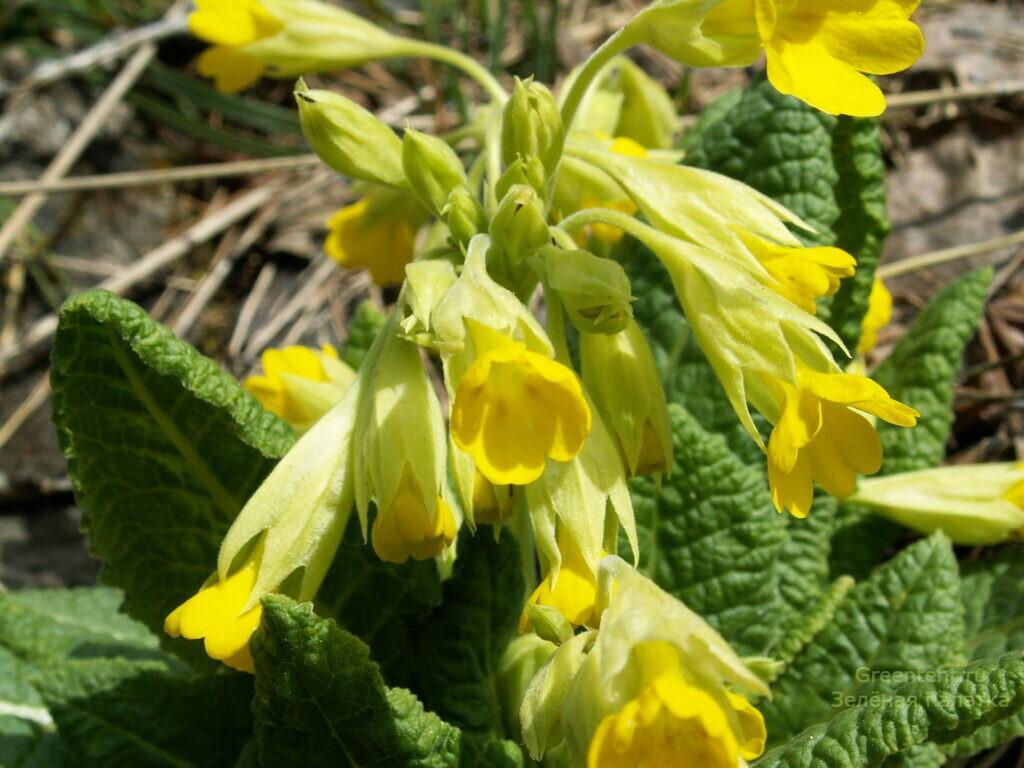 Вот такие цветы встречают первых туристов на Тургояке весной