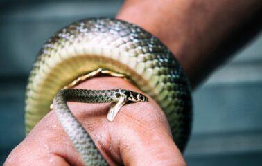 Укус змеи: признаки, опасность, первая помощь