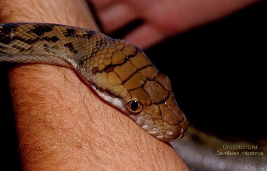 Змея на человеке