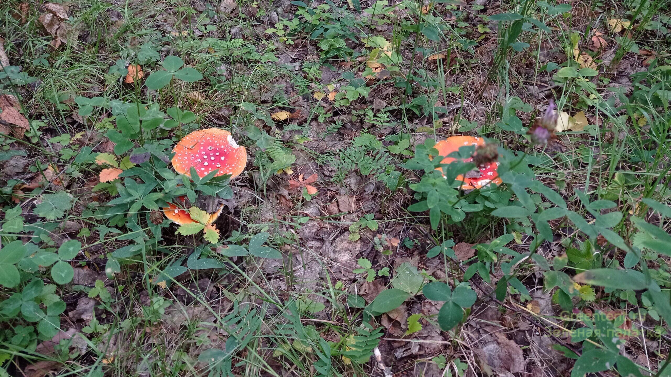 собирать грибы тихая охота мухоморы красота лес природа